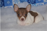 Picture of Trinity-Toy Rat Terrier Female- Ready now!
