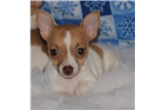 Picture of Sandy-Toy Rat Terrier Female- Ready now!