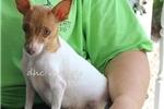 Picture of Cody-Toy Rat Terrier male- Ready now!