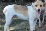 Picture of Archer- male Rat Terrier- Ready NOW!