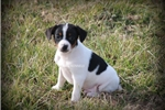 Picture of BANDIT-MALE MINI RAT TERRIER PUPPY-READY