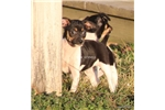 Picture of Gunter-male MINI Rat Terrier- Ready now!