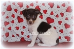Picture of Brownie-Toy Rat Terrier Female- Ready Feb 9!