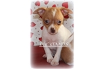 Picture of Tinkerbell-Toy Rat Terrier Female- Ready Feb 9!