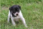 Picture of Ace- MIni sized male UKCI Reg- Ready May 19