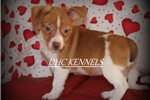 Picture of Peaches-Toy Rat Terrier Female- Ready Feb 9!