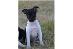 Picture of Mini Lizzy- Rat Terrier female- Ready 8-13-17