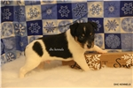Picture of BOOMER-MALE RAT TERRIER-UKCI REG-READY