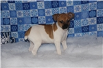 Picture of Hunter- male Rat Terrier- Ready NOW!