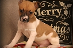 Picture of SPARKY- MALE RT-TYPE A MINI-READY 12-23-16!