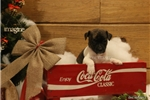 Picture of NOEL- ** BRINDLE FEMALE RT**-READY 12-19-16!