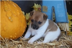 Picture of OLIVER -M* RAT TERRIER - UKCI REG-READY OCT 25
