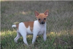 Picture of Sadie-female Toy Rat terrier- Ready 7-19-17