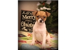 Picture of KRINGLE- MALE RT-TYPE A MINI-READY 12-23-16!