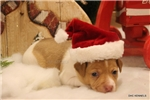 Picture of GOLDIE- FEMALE RT-TYPE A TOY-READY 12-23-16!