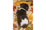 Picture of PUMPKIN-FEMALE TOY RT - UKCI REG-READY OCT 15