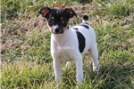 Picture of Dixie-Female Mini size Rat terrier-Ready Feb 3!