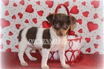 Picture of Pebbles-Toy Rat Terrier Female- Ready Feb 9!