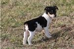 Picture of Ariel-Female Mini size Rat terrier-Ready Feb 3!
