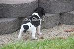 Picture of Jake- MIni sized male UKCI Reg- Ready May 12