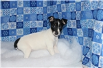 Picture of Snowflake- female Rat Terrier- Ready NOW!
