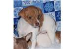 Picture of Cody-Toy Rat Terrier Female- Ready now!