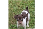 Picture of Jersey-Female Mini Rat terrier- Ready 7-10-17