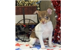 Picture of JAVA-TOY MALE RAT TERRIER- READY NOW!