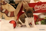 Picture of TINSEL- **CHOC BRINDLE FEMALE RT**-READY 12-19-16!