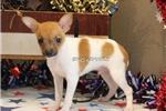 Picture of WHISKEY-TOY MALE RAT TERRIER- READY NOW!