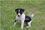 Picture of Marcus- MIni sized male UKCI Reg- Ready May 19