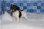 Picture of Winter- female Rat Terrier- Ready NOW!