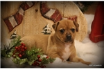 Picture of NUTMEG- FEMALE RT-TYPE A TOY-READY 12-23-16!