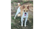 Picture of Daisy-Toy Rat Terrier Female- Ready now!