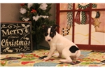 Picture of FROSTY- MALE RT-TYPE A MINI-READY 12-23-16!