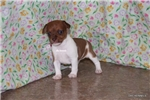 Picture of Copper-Male Rat Terrier Puppy- Ready March 27
