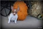 Picture of Nabisco- Male Toy RT puppy- Ready 10-20-17