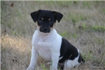 Picture of Mini Leo- Rat Terrier male- Ready 8-13-17