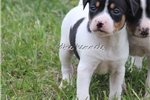 Picture of Button- MIni sized female UKCI Reg- Ready May 19