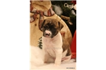 Picture of PUMPKIN- MALE***BRINDLE RT*** -READY 12-19-16!