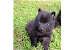 Picture of ZEKE- AKC MALE SCHIPPERKE- READY ON 5-8-17!