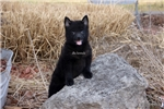 Picture of Harley-MALE SCHIPPERKE-READY NOW!