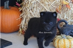 Picture of AKC RAVEN-FE SCHIPPERKE- CH BLDLINES-READY AUG 10