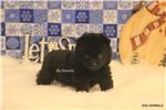 Picture of HARLEY-SCHIPPERKE PUPPY-READY JAN 24