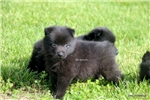 Picture of TAR- AKC MALE SCHIPPERKE- READY ON 5-8-17!