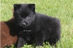 Picture of PHANTOM- AKC MALE SCHIPPERKE- READY ON 5-3-17!
