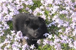Picture of Zoey- AKC FEMALE SCHIPPERKE- READY ON 5-3-17!