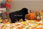 Picture of AKC STORM-  SCHIPPERKE- CH BLDLINES-READY AUG 10