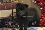 Picture of AKC-PEPSI - FE SCHIPPERKE PUPPY-READY SEPT. 13!