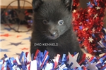 Picture of AKC- RASCAL- MALE SCHIPPERKE PUPPY-READY SEPT. 13!